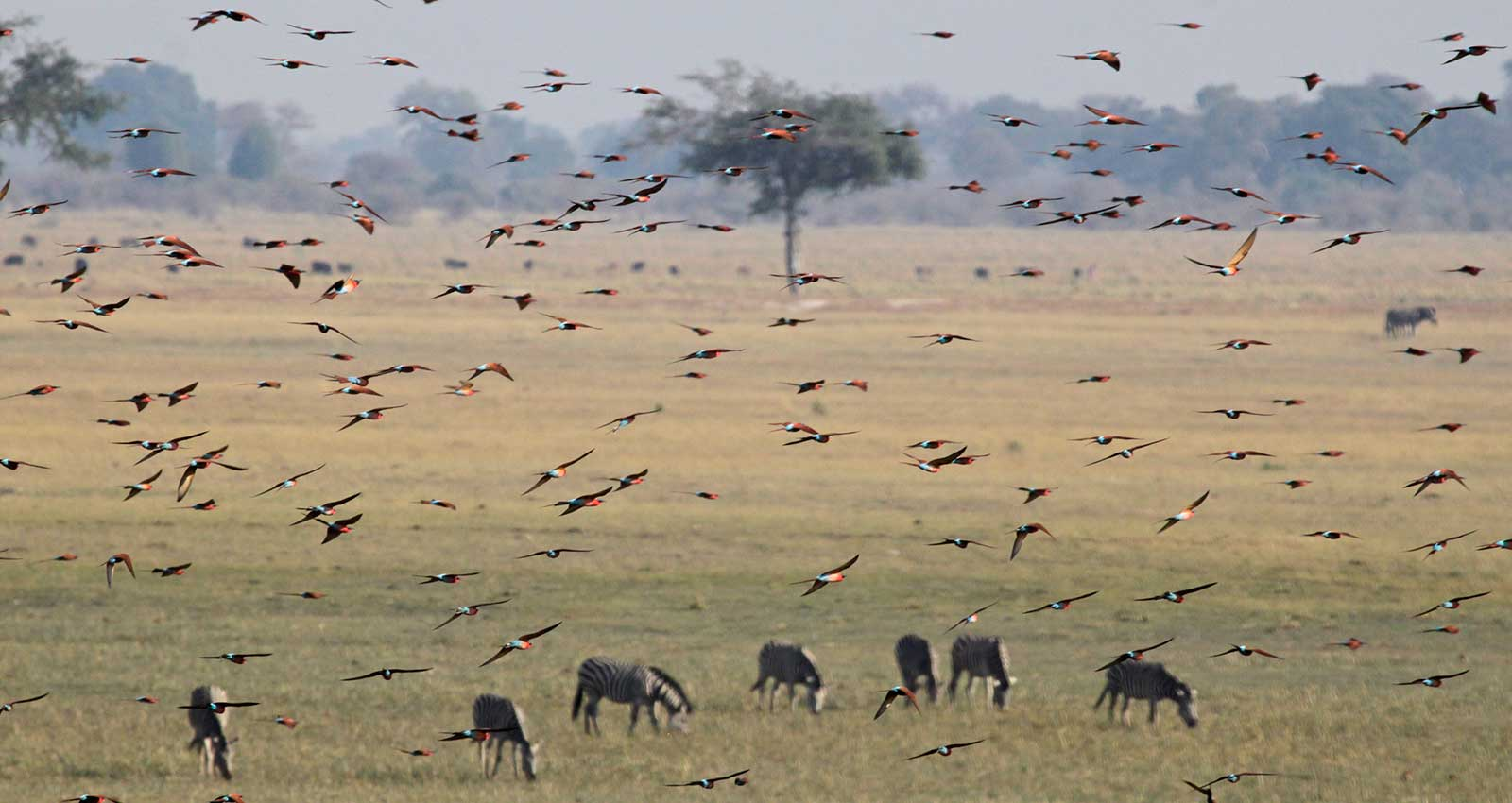 A swarm of Bee eaters seen whilst on safari with Masson Safaris