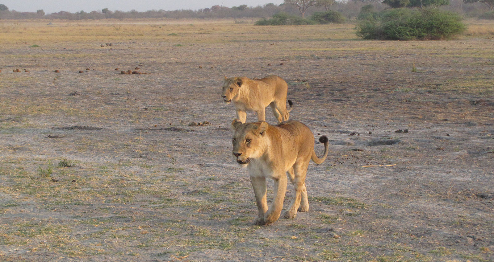 Lions seen on game drive with Masson Safaris in Moremi Game Reserve