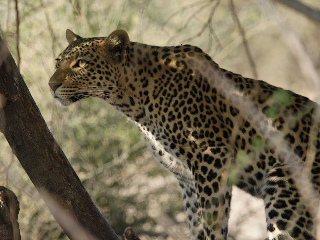 Leopard spotted on game drive with Ewan Masson of Masson Safaris